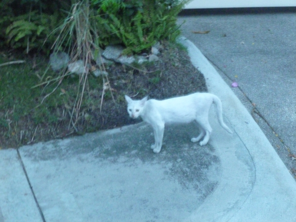 white cat skinny looking almost at me